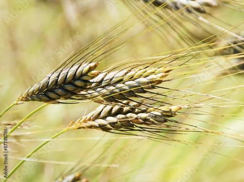 Emmer, alte Getreidesorte