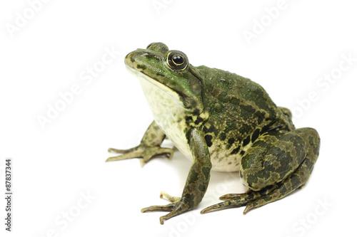 Foto op Plexiglas Kikker large green spotted frog on white background