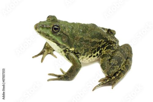 Foto op Plexiglas Kikker large green marsh frog on a white background