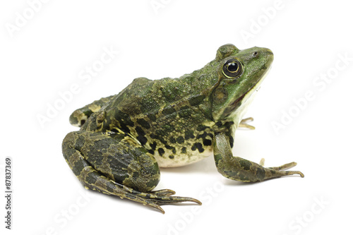 Foto op Plexiglas Kikker large green spotted frog on white background