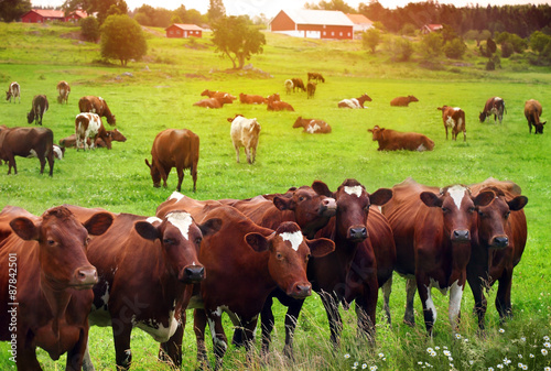 Herd of cows at summer green field Tableau sur Toile