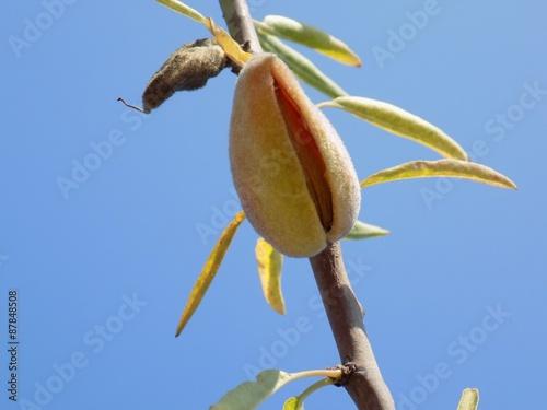 Fotografia, Obraz Almond tree