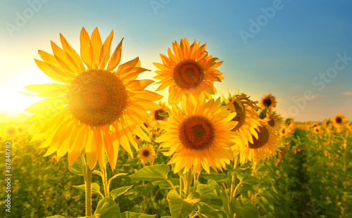 Aluminium Prints Floral Sunflowers