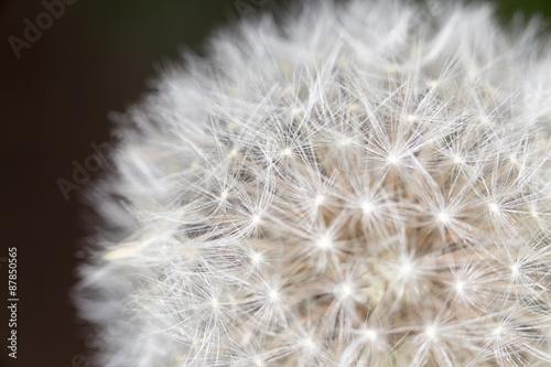 Fototapeta Dandelion. close obraz na płótnie
