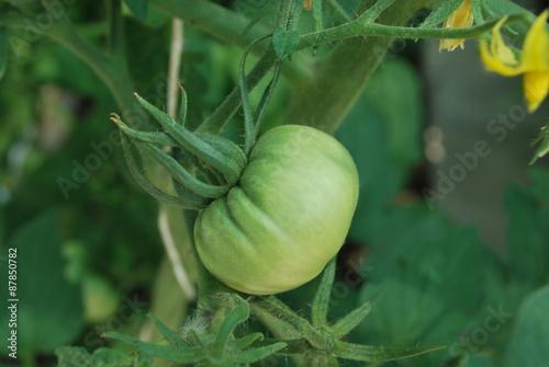 Fotografie, Obraz  Zielony pomidor