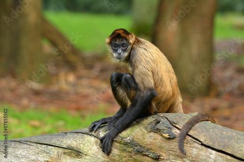 Foto op Plexiglas Aap Spider Monkey sit on a tree trunk