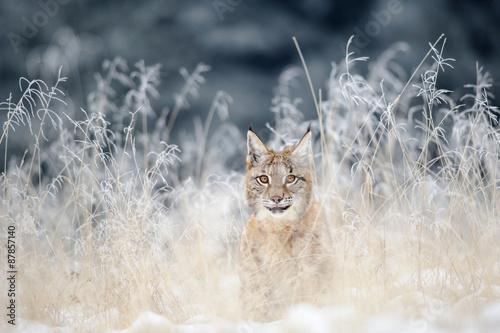 Foto auf Leinwand Luchs Eurasian lynx cub hidden in high yellow grass with snow