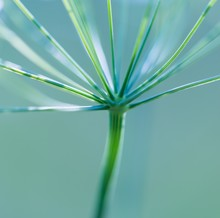 Close Up Of Wild Carrot Flower