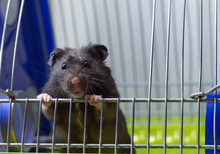 Black Hamster Looking Out Of O...