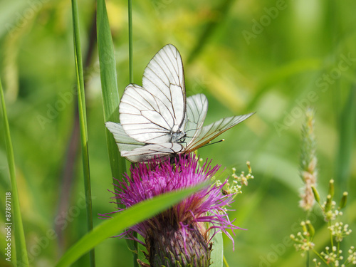 Aporia Crataegi butterfly on a flower in the forest Canvas Print