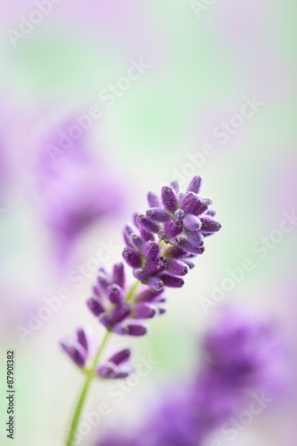 Cadres-photo bureau Lavande lavender flowers background