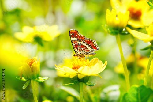 Foto op Plexiglas Vlinder Schöner Schmetterling (Araschnia levana) auf gelber Blume