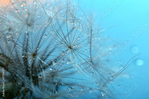 Photo sur Aluminium Pissenlits et eau Beautiful dandelion with water drops on blue background