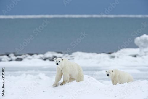 In de dag Ijsbeer Junge Eisbären