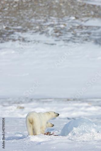 Foto op Plexiglas Arctica Eisbärin mit Jungen frisst Robbe