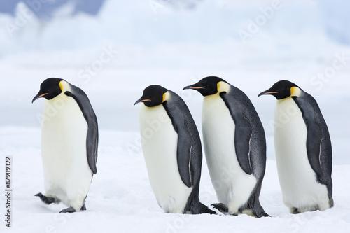 Poster Antarctique Kaiserpinguine wandern über das Eis