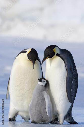 Poster Antarctique Kaiserpinguin mit Küken