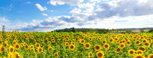 La pose en embrasure Tournesol Sonnenblumenfeld - Panorama