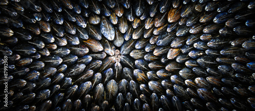Mussel-Eclade Canvas Print