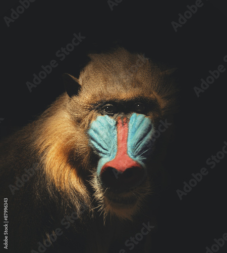 Fotografia Wild Mandrill Isolated in the Darkness