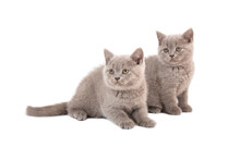 Two Kittens British Lilac On W...