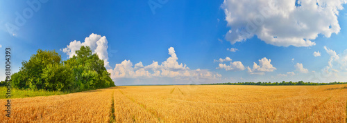 Poster Village Wheat field in summer countryside