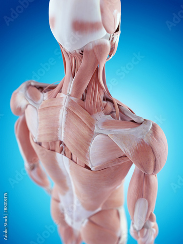 Fotografía medically accurate illustration of the shoulder anatomy