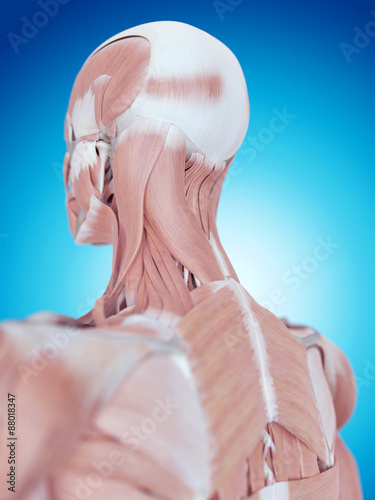 Fotografie, Tablou  medically accurate illustration of the neck anatomy