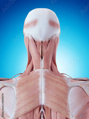 medically accurate illustration of the neck anatomy Fototapet