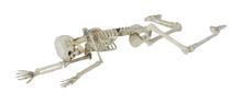 Skeleton Laying Partially Pron...