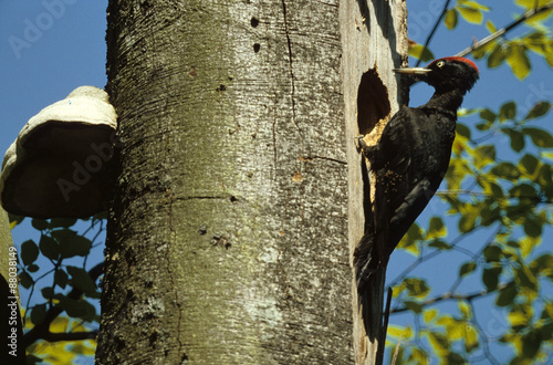 Photo  pic noir, Dryocopus martius, nid