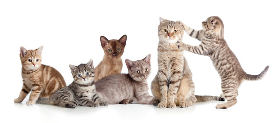 Fototapetavarious cats group isolated