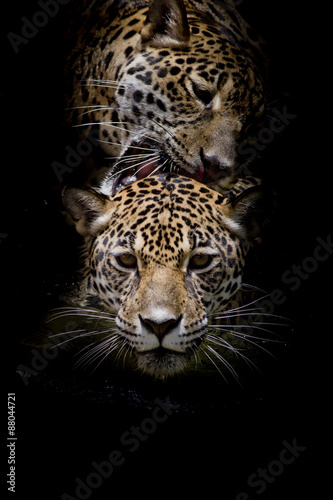 Poster Leopard close up Jaguar Portrait