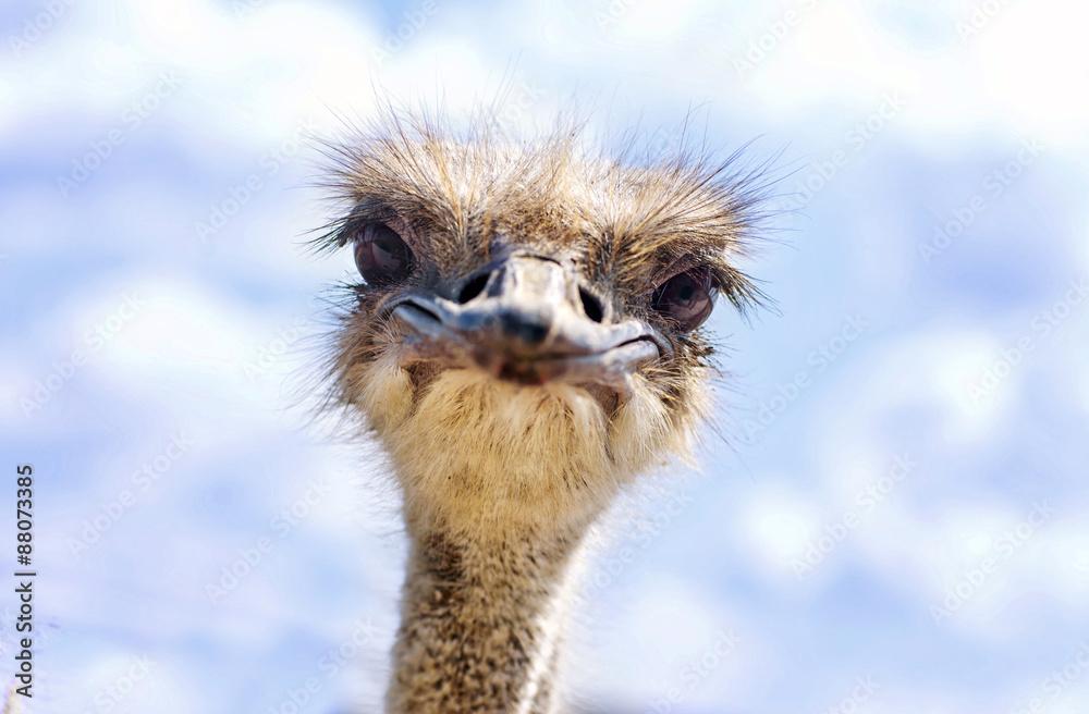 einzelne bedruckte Lamellen - Close view of ostrich head (Struthio camelus)