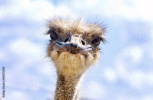 einzelne bedruckte Lamellen - Close view of ostrich head (Struthio camelus) (von vaveta)