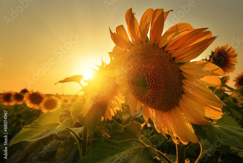 In de dag Zonnebloem Sunny sunflowers