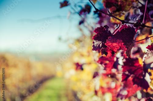 Fotografia  Vigne delle colline delle Langhe in autunno