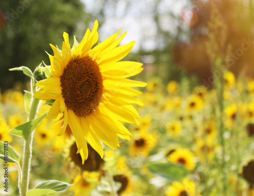 In de dag Zonnebloem Sonnenblume