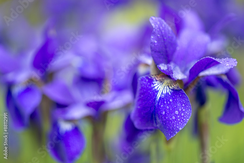 Cadres-photo bureau Iris Iris versicolo or purple iris