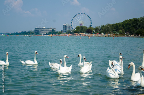 Fotografie, Obraz  Swan flock on the Balaton lake in Siofok with Ferris wheel in th