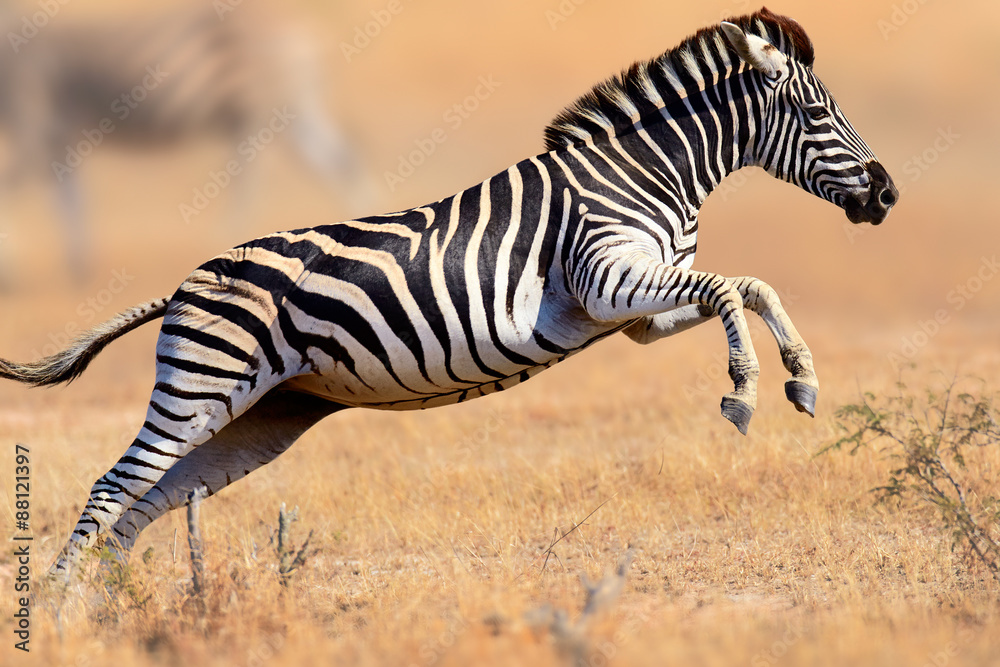 Fototapety, obrazy: Zebra running and jumping
