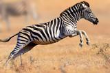 Fototapeta Sawanna - Zebra running and jumping