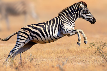 FototapetaZebra running and jumping