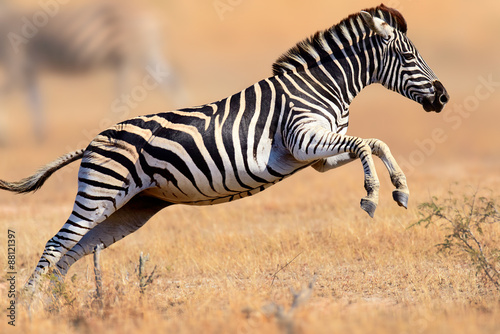 Spoed Foto op Canvas Zebra Zebra running and jumping
