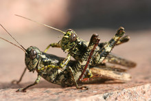 Grasshoppers Mating – A Macro Image Of Two Grasshoppers Mating.