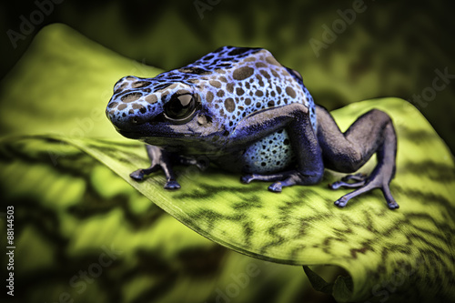 Valokuvatapetti blue poison dart frog amazon rain forest