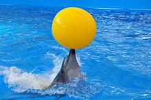 Bottlenose Dolphin In Blue Wat...