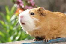 Guinea Pig 5