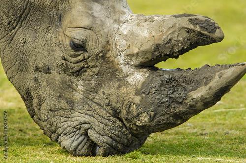 Acrylic Prints Rhino Portret van een witte neushoorn.