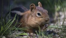 A Golden Mantled Ground Squirr...